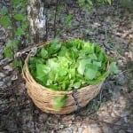 березовые листья при артрозе