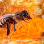 пчелы для суставов