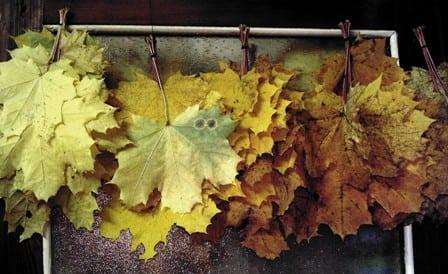 Отвар кленовых листьев при боли в суставах