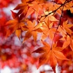 лечение кленовыми листьями суставов