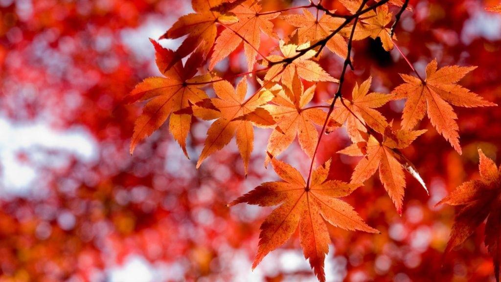 Лечение суставов кленовыми листьями рецепты чем полезны