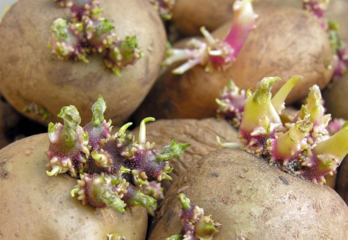 Ростки картофеля лечение суставов